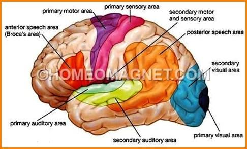 Brain Area