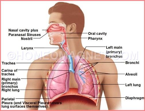 Human Respiratory Organs