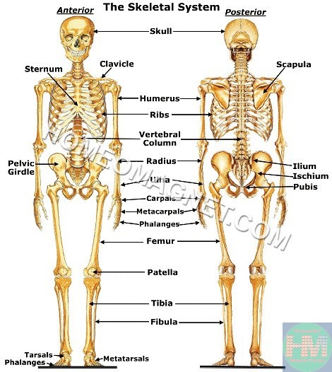 human skeleton – homeopathy and magnet-therapy, Skeleton