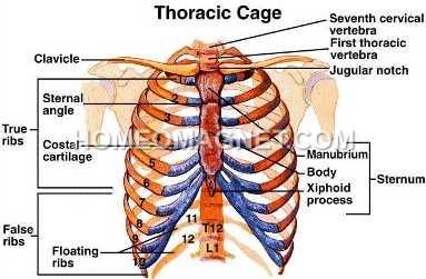 Human Thorax